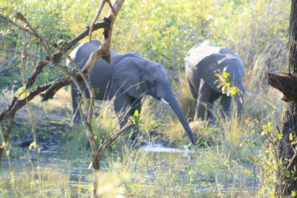 Elephants in Mosiotunya National park